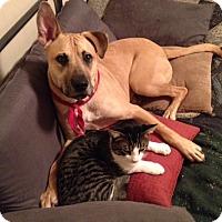 Adopt A Pet :: SAMSON - URGENT! - Carrollton, TX