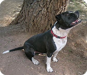 Boxer/Pit Bull Terrier Mix Dog for adoption in Jemez Springs, New Mexico - Moose