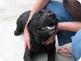 Labradoodle/Mastiff Mix Puppy for adoption in Groton, Massachusetts - Riley