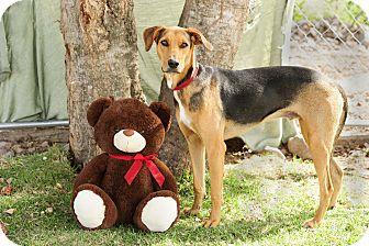 Shepherd (Unknown Type) Mix Dog for adoption in Victoria, British Columbia - Rebel