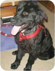 Chow Chow/Labrador Retriever Mix Dog for adoption in Laurel, Maryland - Dogadee
