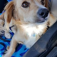 Dachshund Mix Dog for adoption in Scottsdale, Arizona - Hopper
