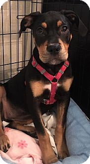 Catahoula Leopard Dog Mix Puppy for adoption in Ft. Lauderdale, Florida - Harmony