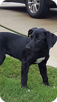 Labrador Retriever/Australian Shepherd Mix Puppy for adoption in Powder Springs, Georgia - Sabrina