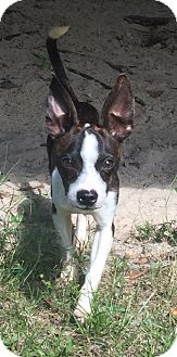 Boston Terrier/Rat Terrier Mix Puppy for adoption in Palm Harbor, Florida - Ralph
