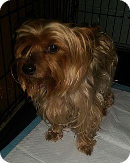 Yorkie, Yorkshire Terrier Dog for adoption in Ogden, Utah - Cinnamon Bear