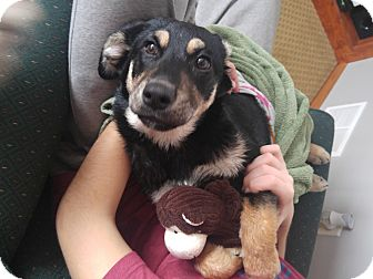 Collie/Shepherd (Unknown Type) Mix Puppy for adoption in Prior Lake, Minnesota - Wilson