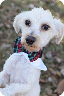 Toy Poodle Mix Dog for adoption in Glastonbury, Connecticut - Robert