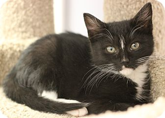 Domestic Shorthair Kitten for adoption in Carlisle, Pennsylvania - Cindy
