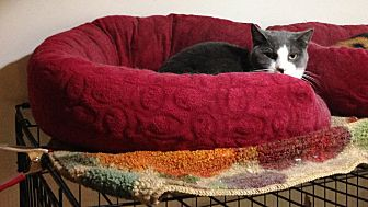 Domestic Shorthair Cat for adoption in New York, New York - Rocco