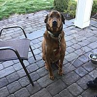 Rhodesian Ridgeback/German Shepherd Dog Mix Dog for adoption in Post Falls, Idaho - Reese