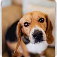 Adopt A Pet :: Ellie - Pitt Meadows, BC