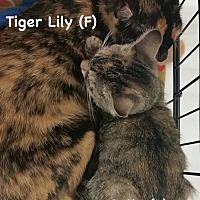 Adopt A Pet :: Tiger Lily - West Orange, NJ