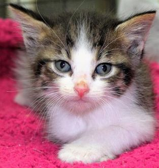 Domestic Shorthair/Domestic Shorthair Mix Cat for adoption in Robinson, Illinois - Rose