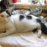 Domestic Shorthair Cat for adoption in Brookhaven, Pennsylvania - Wednesday