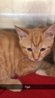 Domestic Shorthair/Domestic Shorthair Mix Cat for adoption in Lynchburg, Virginia - Tiger