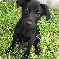 Adopt A Pet :: Taylor - Ocean Ridge, FL