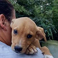 Adopt A Pet :: Shane - Springfield, MA