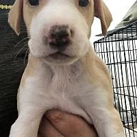 Adopt A Pet :: Puppy 1 - Long Beach, CA