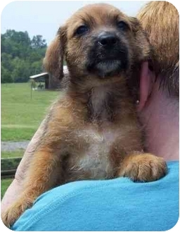 Bluetick Coonhound/Airedale Terrier Mix Puppy for adoption in Salem, New Hampshire - Brownie