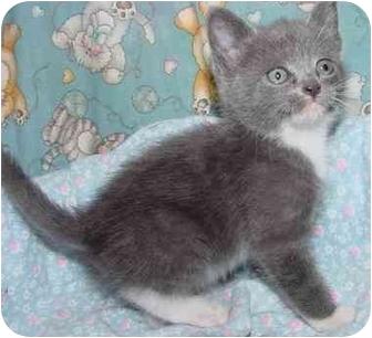 Domestic Mediumhair Kitten for adoption in Brenham, Texas - Aspen