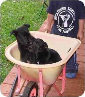 Akita/Catahoula Leopard Dog Mix Puppy for adoption in Haughton, Louisiana - Catahoula/Akita mix (5 males)
