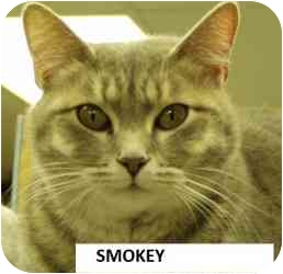 American Shorthair Cat for adoption in Hopkinsville, Kentucky - Smokey