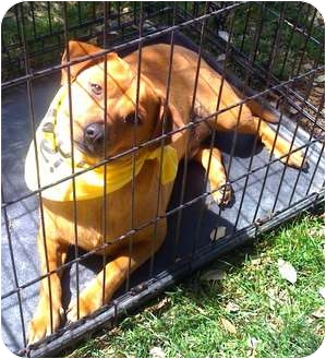 Chihuahua/Dachshund Mix Dog for adoption in Fowler, California - Ricky