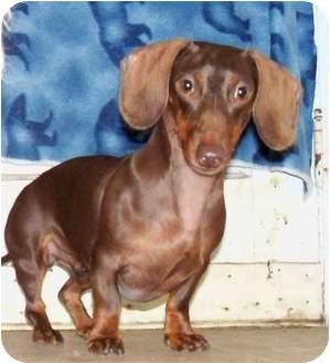 Dachshund Dog for adoption in Detroit, Michigan - Miss Weiner