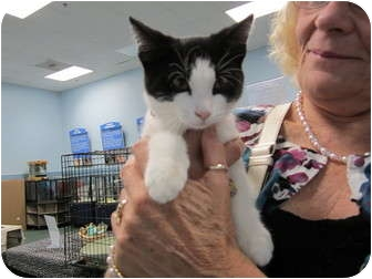 Domestic Shorthair Kitten for adoption in Sterling Hgts, Michigan - Dixie
