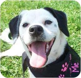 Pug/Beagle Mix Dog for adoption in Barron, Wisconsin - Julia