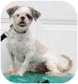 Shih Tzu Dog for adoption in Plainfield, Illinois - Hogan