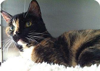 Domestic Shorthair Cat for adoption in Topeka, Kansas - Bentley