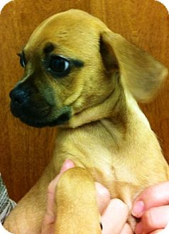 Pug/Chihuahua Mix Puppy for adoption in Oswego, Illinois - I'M ADPTD Chpchgs Ltr Alvin Ga