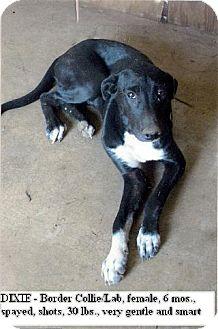 Border Collie/Labrador Retriever Mix Puppy for adoption in Moulton, Alabama - Dixie