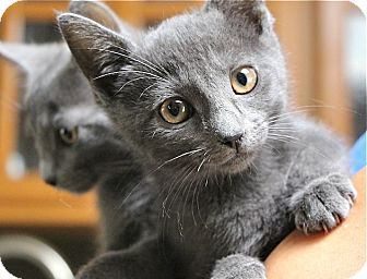 Domestic Shorthair Kitten for adoption in Los Angeles, California - Ash