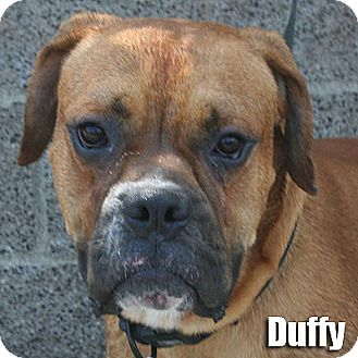 Boxer Puppy for adoption in Encino, California - Duffy