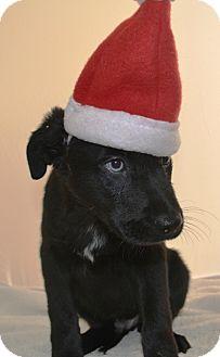 Border Collie/Labrador Retriever Mix Puppy for adoption in Wilmington, Delaware - Emmanuel