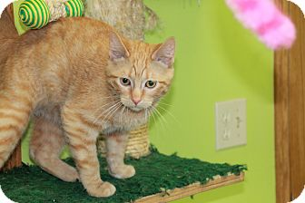 Domestic Shorthair Cat for adoption in Hibbing, Minnesota - CHANCE