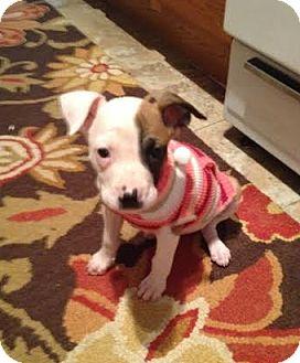 Boxer Mix Puppy for adoption in Hainesville, Illinois - Ethel