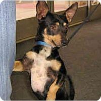 Adopt A Pet :: Gizmo - Scottsdale, AZ