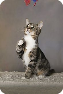 Domestic Shorthair Cat for adoption in Charlotte, North Carolina - A..  Kesha