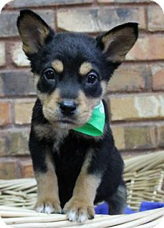 Australian Shepherd Mix Puppy for adoption in Benbrook, Texas - Yule