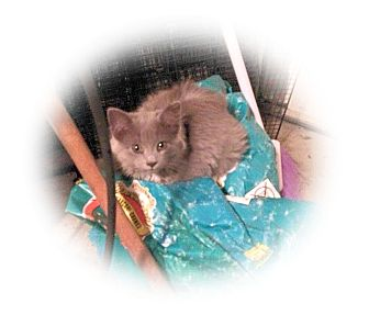 Domestic Shorthair Cat for adoption in Olmsted Falls, Ohio - Lady Di