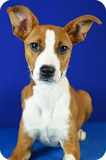 Terrier (Unknown Type, Small) Mix Puppy for adoption in LAFAYETTE, Louisiana - SWEET PEA