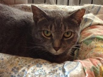 Domestic Shorthair Cat for adoption in New City, New York - Angel