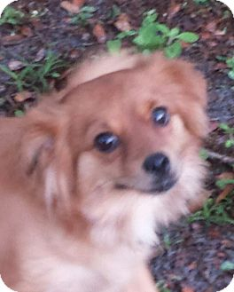 Pomeranian/Chihuahua Mix Dog for adoption in Terra Ceia, Florida - ShyAnn - ADOPTED!