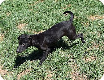 Labrador Retriever/Staffordshire Bull Terrier Mix Puppy for adoption in Ijamsville, Maryland - Poppy