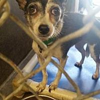 Adopt A Pet :: Shirlee - Scottsdale, AZ