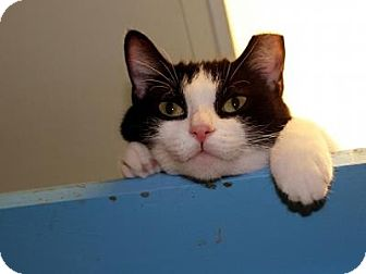 Domestic Shorthair Cat for adoption in Indianapolis, Indiana - Josephina